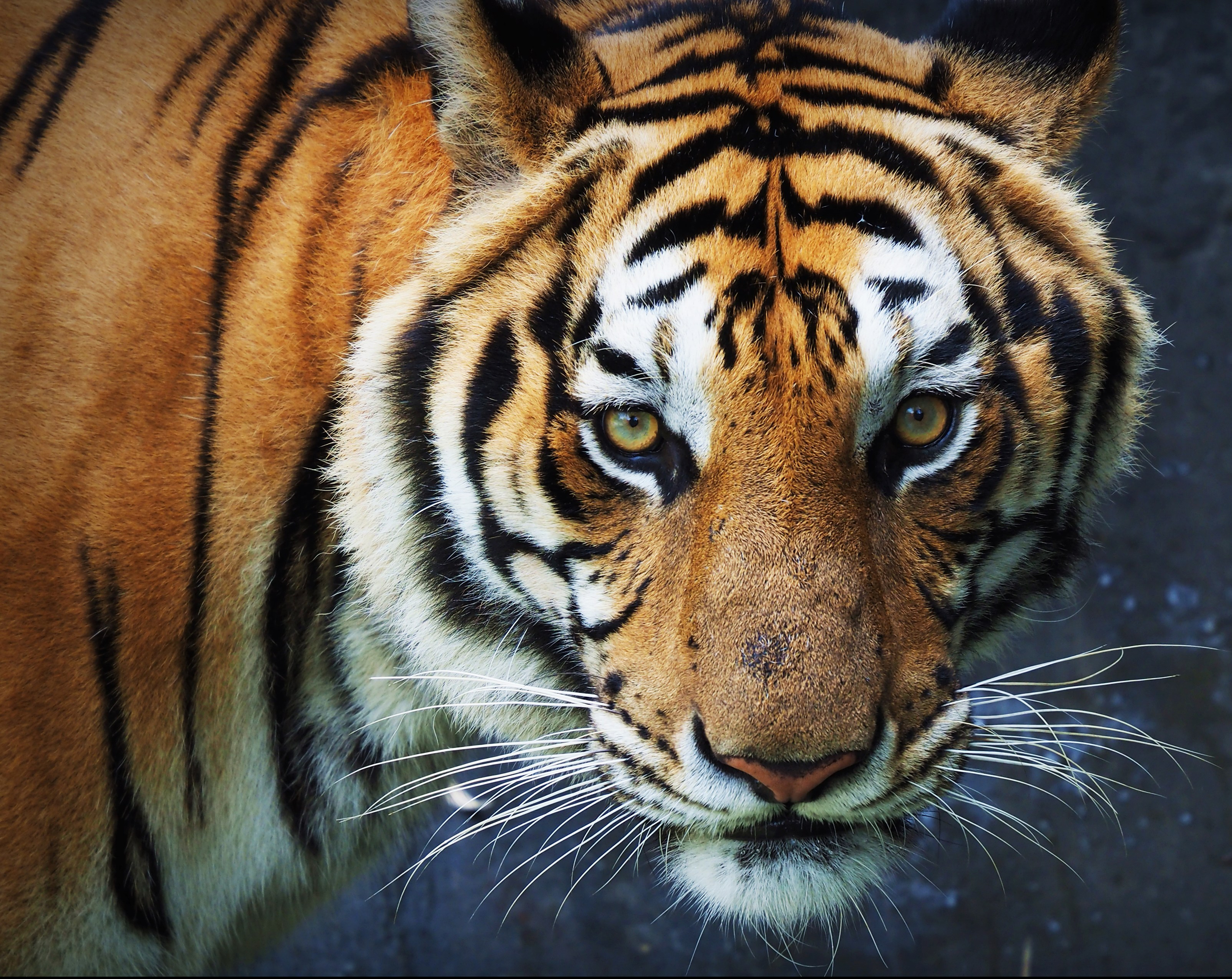 Tiger in Thailand zoo