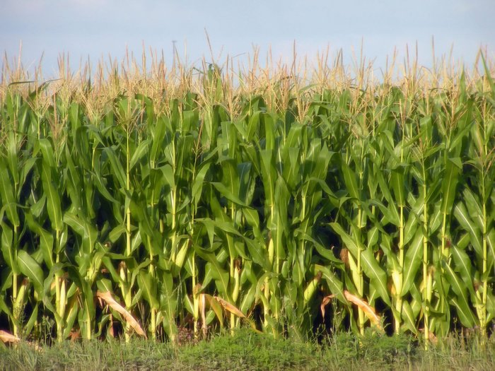corn-2-1499929-1280x960
