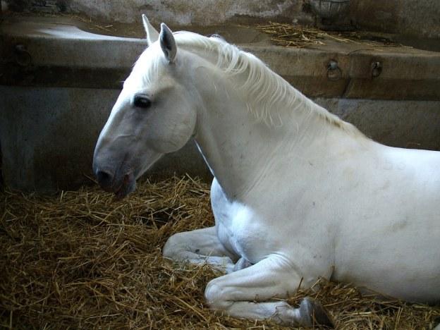 lipican-horse-1399491-1280x960