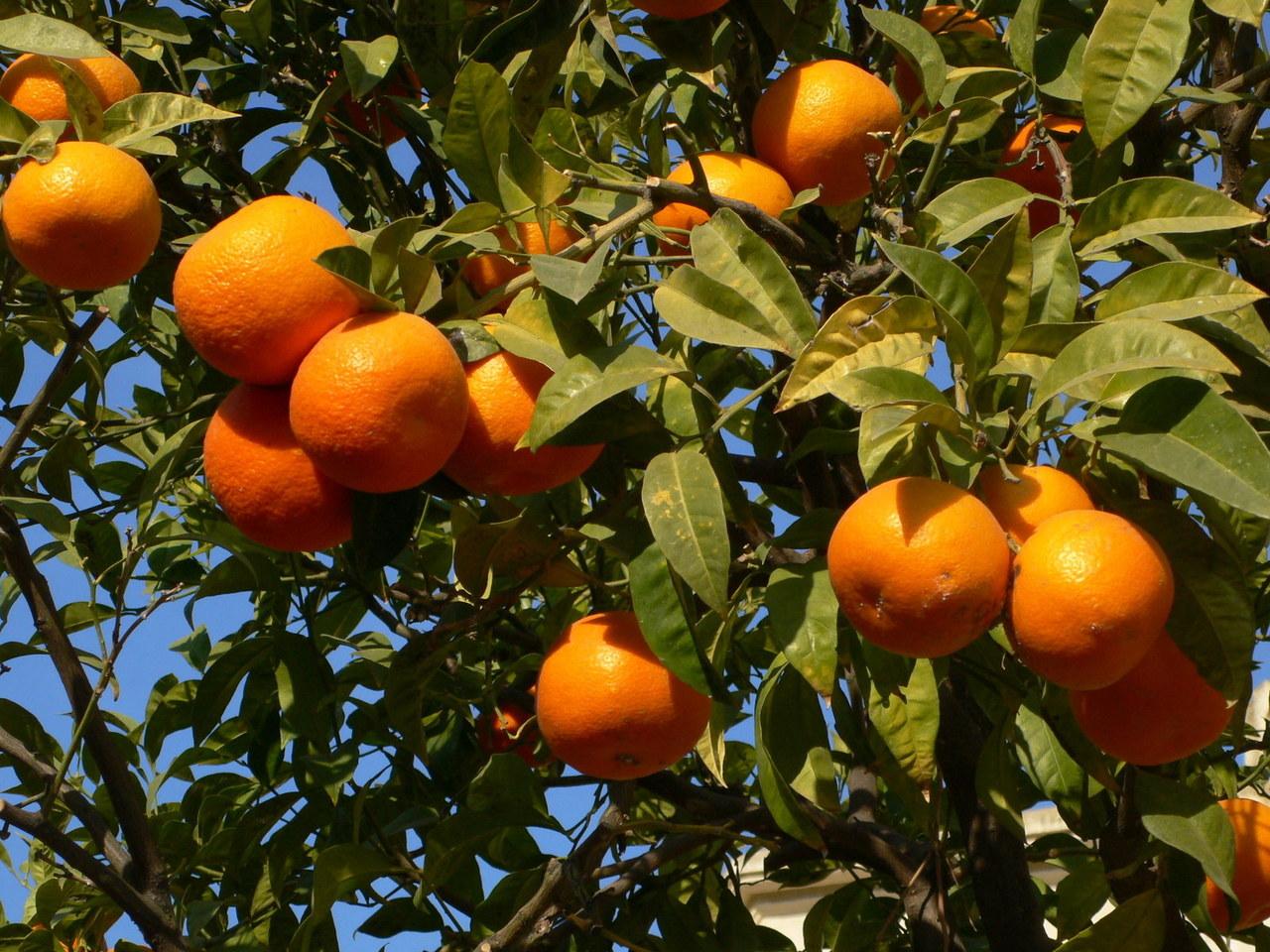 oranges-at-tree-1325437-1280x960